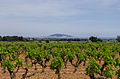 Vineyard, Pinet, Hérault.jpg