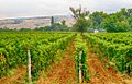 Vineyards in pomorie region.JPG