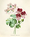 Vintage Flower illustration by Pierre-Joseph Redouté, digitally enhanced by rawpixel 31.jpg