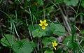 Viola biflora 01.jpg