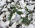 Viola cenisia16072002.JPG