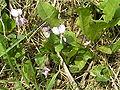 Viola odorata-lila.JPG