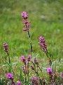 Viscaria vulgaris Smółka pospolita 2015-05-17 03.jpg