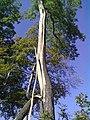 Von Blitz getroffene Eiche - geo.hlipp.de - 21868.jpg