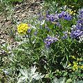 Wall flower and Broadleaf Lupine - Flickr - brewbooks.jpg