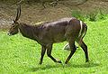 Water buck at an english wildlifepark arp.jpg