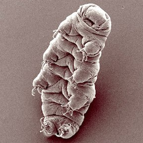 The tardigrade Hypsibius dujardini