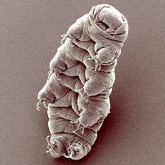 Tardigrade - SEM image of Hypsibius dujardini
