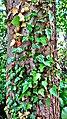 Weideswiesen-Oberwald bei Erlensee - Baumstamm Blätter.jpg
