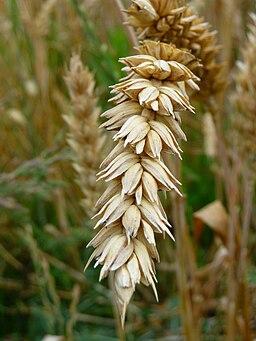 Weizenähre Detailansicht