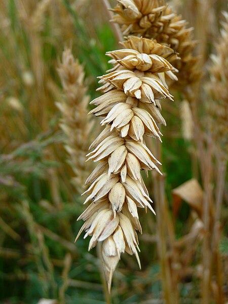 File:Weizenähre Detailansicht.JPG