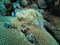 Well disguised scorpionfish at Marsa Shouna, Red Sea, Egypt -SCUBA (6234315391).jpg