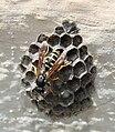 Wespe auf Nest.jpg