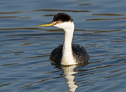 Western Grebe (Aechmophorus occidentalis) V.jpg