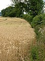 Wheat field near Masham - geograph.org.uk - 436580.jpg