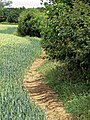 Wheatfield edge path at Greenhill, Hatfield Broad Oak, Essex England.jpg