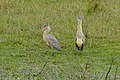Whistling Herons (Syrigma sibilatrix) (28976910292).jpg