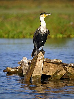 White-breasted-cormorant.jpg