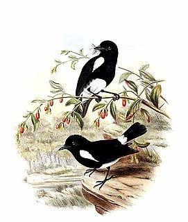 White-rumped robin species of bird
