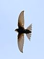 White-rumped swift, Apus caffer, at Suikerbosrand Nature Reserve, Gauteng, South Africa (30511370245).jpg