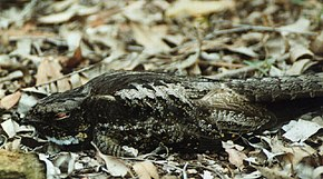 Description de l'image White-throated nightjar kobble.jpg.