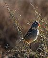 White Crowned Sparrow (5364845142).jpg