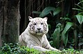 White Tigerr.jpg