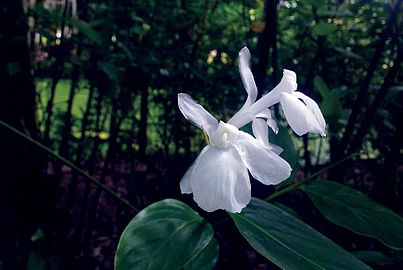 White Unidentified Flower at napittachora.jpg