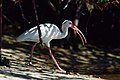 White ibis with crab (16940018255).jpg