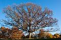 White oak (25740974966).jpg