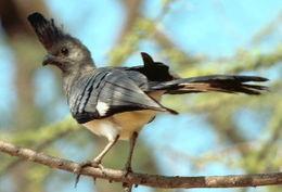 Whitebelliedgoawaybird