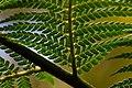 Wielangta Dicksonia antarctica leaves 2.jpg