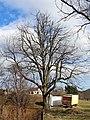 Wiesmath - Linde - Naturdenkmal WB-108.jpg