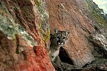 Wikijunior Big Cats Puma - Wikibooks b4aac0d18