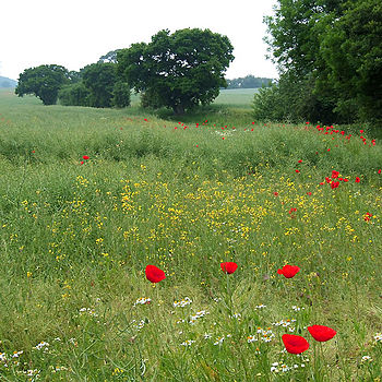 English: Wild Flowers in the Rape Field, near ...