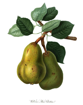 Williams pear - The Williams pear. An 1822 print from the Horticultural Society of London