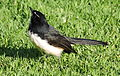 Willie (or willy) wagtail, Rhipidura leucophrys, Royal Botanic Gardens, Melbourne, Australia (25628748091).jpg