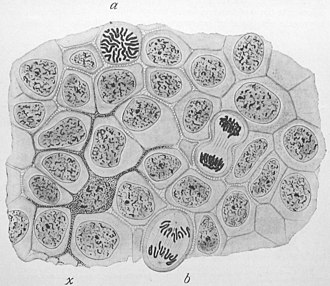 "Edmund Beecher Wilson - Image from his textbook ""The cell in Development and Inheritance"", second edition, 1900."