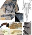 Winneshiek Shale arthropod fragments.png