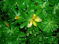 Winter Aconite, Dalmore, Stair, Ayrshire.JPG