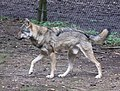 Wolf Canis lupus Wildpark Poing-04.jpg