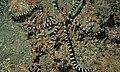 Wonder Octopus (Wunderpus photogenicus) (6064281459).jpg