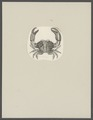 Xantho poressa - - Print - Iconographia Zoologica - Special Collections University of Amsterdam - UBAINV0274 094 14 0012.tif