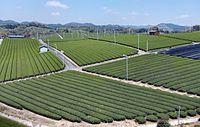 Yame Tea Plantation 03.jpg