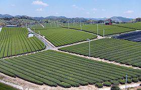 Yame Tea Plantation 03.jpg