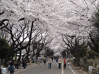 Yanaka Cemetery - Cherry blossoms at Yanaka Cemetery, with the Police Station at left.