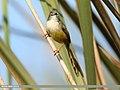 Yellow-bellied Prinia (Prinia flaviventris) (33448333004).jpg