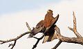 Yellow-billed kite, Milvus aegyptius, at Elephant Sands Lodge, Botswana (31407240244).jpg