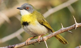 Yellow-breasted apalis species of bird