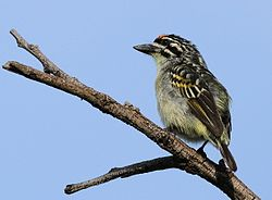 Yellow-fronted tinkerbird, Pogoniulus chrysoconus, at Walter Sisulu National Botanical Garden, South Africa (15386886113).jpg